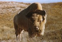 The American bison (Bison bison bison Linnaeus) is probably the most historically significant mammal on the North American continent.