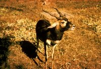 Title: Blackbuck Antelope, Alternative Title: (Antelope cervicapra, L.), Creator: Mitchell, Dick, Source: WO850-023, Publisher: U.S. Fish and Wildlife Service, Contributor: DIVISION OF PUBLIC AFFAIRS