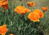 California Indians cherished the poppy as both a source of food and for oil extracted from the plant. Its botanical name, Eschsholtzia californica, was given by Adelbert Von Chamisso, a naturalist and member of the Prussian Academy of Sciences, who dropped anchor in San Francisco in 1816 in a bay surrounded by hills of the golden flowers. Also sometimes known as the flame flower, la amapola, and copa de oro (cup of gold), the poppy grows wild throughout California. It became the state flower in 1903. Every year April 6 is California Poppy Day, and Governor Wilson proclaimed May 13-18, 1996, Poppy Week.