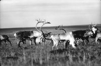 Title: Caribou at King Salmon, Alternative Title: (Rangifer tarandus), Creator: Foro, Jim,  Source: FWS-6349, Publisher: U.S. Fish and Wildlife Service, Contributor: ASSISTANT REGIONAL DIRECTOR-EXTERNAL AFFAIR,