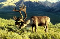 Title: Caribou, Alternative Title: (Reindeer), Creator: Biggins, Dean, Source: WO3772-023, Publisher: U.S. Fish and Wildlife Service, Contributor: DIVISION OF PUBLIC AFFAIRS