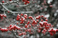 Snow settles softly on every branch and berry in the Rose Garden during the first snowfall of the season Monday, Dec. 5, 2005. White House photo by Shealah Craighead.