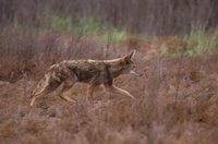 Title: Coyote, Alternative Title: (Canis latrans), Creator: Hollingsworth, John and Karen, Source: WV10130, Publisher: (none), Contributor: NATIONAL CONSERVATION TRAINING CENTER-PUBLICATIONS AND TRAINING MATERIALS