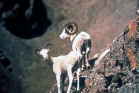 Title: Dall Sheep Pair, Alternative Title: (Ovis dalli dalli), Creator: U.S. Fish and Wildlife Service, Source: AK/RO/03177, Publisher: (none), Contributor: ASSISTANT REGIONAL DIRECTOR-EXTERNAL AFFAIRS