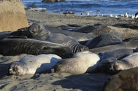 Title: Elephant Seal, Alternative Title: (Mirounga angustirostris), Creator: Martin, Joe, Source: WO-068-CD60, Publisher: U.S. Fish and Wildlife Service, Contributor: DIVISION OF PUBLIC AFFAIRS,