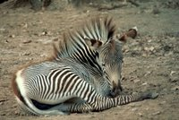 Title: Grevy's Zebra, Alternative Title: (Equus grevyi), Creator: Stolz, Gary M., Source: WO5669-007, Publisher: U.S. Fish and Wildlife Service, Contributor: DIVISION OF PUBLIC AFFAIRS