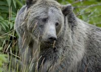 Title: Grizzly Bear in Yellowstone National Park, Alternative Title: Ursus arctos horribilis, Creator: Terry Tollefsbol, Publisher: U.S. Fish and Wildlife Service, Contributor: NATIONAL CONSERVATION TRAINING CENTER-PUBLICATIONS AND TRAINING MATERIALS