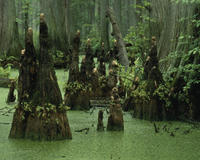 The ancient bald cypress trees, some more than 1,000 years old, give one a sense of time standing still.