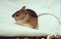 Title: Prebles Meadow Jumping Mouse, Alternative Title: (Zapus hudsonius preblei), Creator: USFWS, Source: WO-8747, Publisher: USFWS, Contributor: