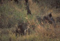 Title: Leopard, Alternative Title: (Panthera pardus), Creator: Stolz, Gary M. Source: WO5666-007, Publisher: U.S. Fish and Wildlife Service, Contributor: DIVISION OF PUBLIC AFFAIRS.