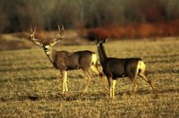 Title: Mule Deer, Alternative Title: (Odocoileus hemionus), Creator: USFWS Photo, Source: WO3857-023, Publisher: U.S.Fish and Wildlife Service, Contributor: DIVISION OF PUBLIC AFFAIRS.