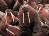 Title: Pacific Walrus at Cape Peirce, Alternative Title: (Odobenus rosmarus), Creator: U.S. Fish and Wildlife Service, Source: walrus_cover_photo, Publisher: (none) Contributor: TOGIAK NATIONAL WILDLIFE REFUGE