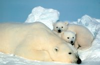 Title: Polar Bear and Cubs, Alternative Title: Ursus maritimus, Creator: Steve Amstrup, Source: SL-03407, Publisher: U.S. Fish and Wildlife Service, Contributor: ASSISTANT REGIONAL DIRECTOR-EXTERNAL AFFAIRS.