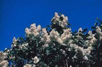The Purple Lilac (Syringa vulgaris)was named the state flower of New Hampshire in 1919.