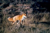 Title: Red Fox, Alternative Title: (Vulpes vulpes), Creator: Thiele, Jim, Source: WO1524-25, Publisher: U.S. Fish and Wildlife Service, Contributor: DIVISION OF PUBLIC AFFAIRS.