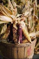 Thanksgiving Corn Harvest, USDA Photo by: Robert R. Edwards