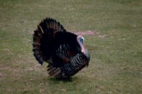 Thanksgiving Turkey 3 (Meleagris gallopavo silvestris)