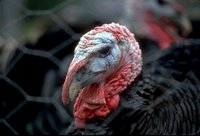 Thanksgiving Turkey Close-up