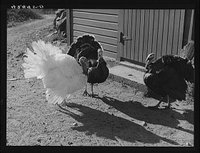 Turkeys on the farm reproduction number, LC-USF34-042445-D DLC