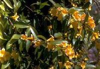 Yellow Jessamine (Gelsemium sempervirens) was named the state flower of South Carolina in 1924.