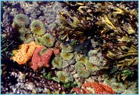 Tidepool Anemones, NOAA, Olympic Coast National Marine Sanctuary
