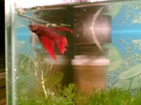 Siamese fighting fish, Fighter