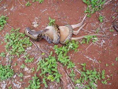 Snake eat kangaroo 1