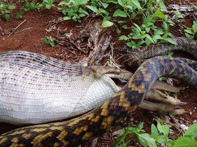 Snake eat kangaroo 3