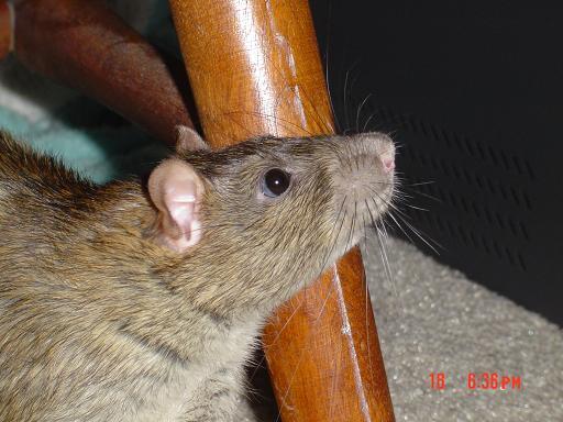 "Rocky Mountain Rat Girl: Why ""Rocky Mountain Rat Girl?"""
