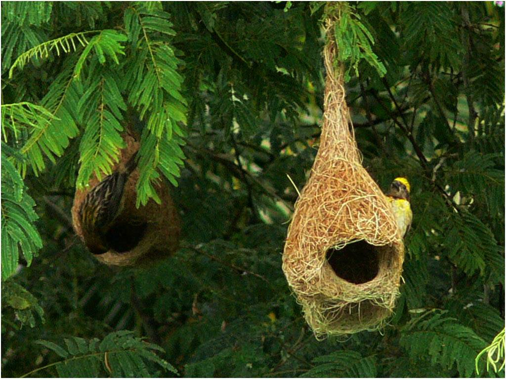 Image result for weaver bird nest india