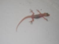 Gecko, leider etwas unscharf...