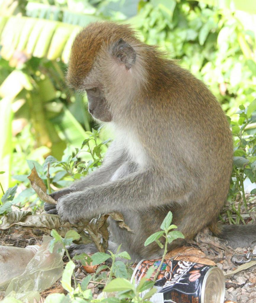 Macaque and leaf