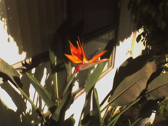Bird of Paradise - flower
