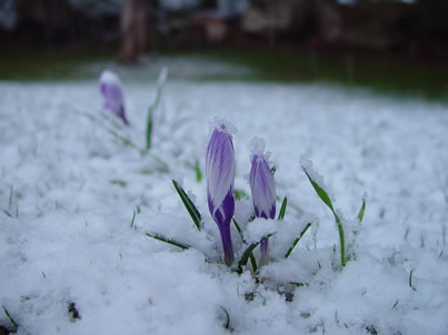 Mattys chronicles crocipetti in neve spring flowers in snow crocipetti in neve spring flowers in snow mightylinksfo