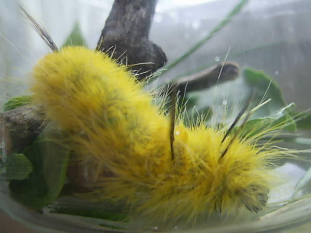 American Dagger Moth Cocoon http://mysocalled.homeschooljournal.net/2005/07/14/yellow-caterpillar/