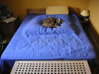 maine coon cat on a bed