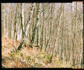 Le bois de Bouleaux
