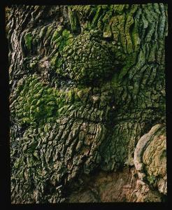 Le Gros Chêne de Liernu, impressionnant de puissante contenue.