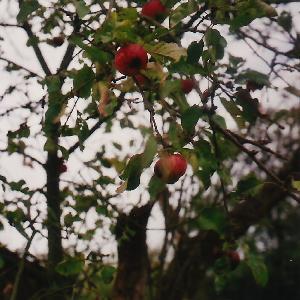 Rouges les pommes de mes voisins. Bien pourri le pommier.