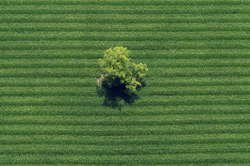 Tree in a cornfield