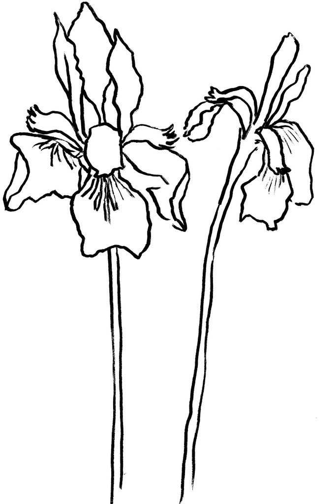 Line Drawing Of Iris Flower : Image gallery iris line drawing