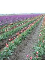 Slogging through the tulips