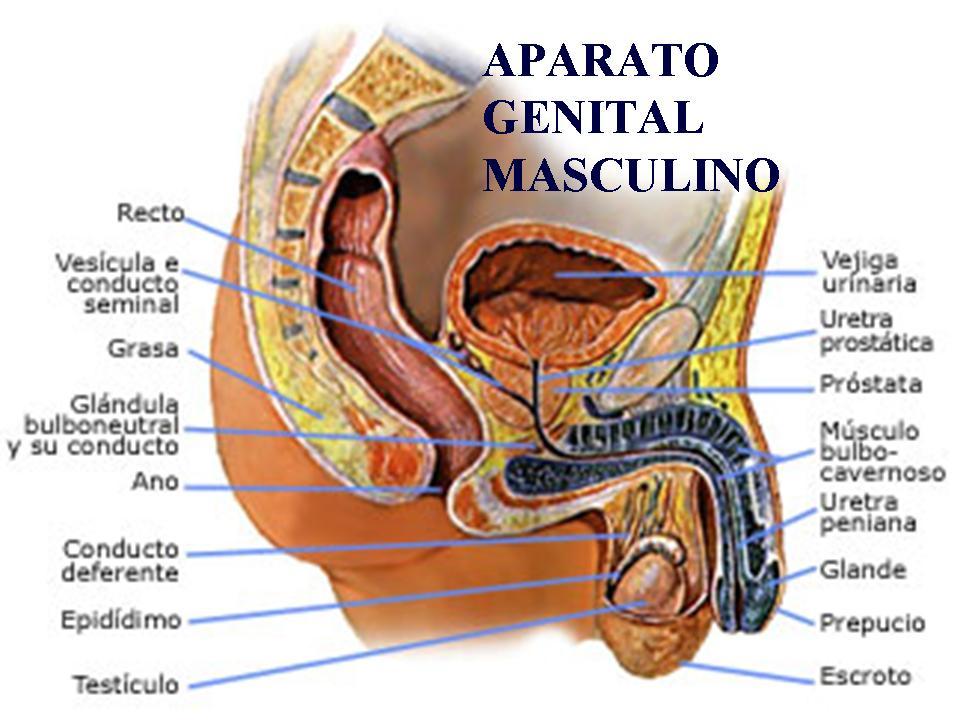 Excelente Anatomía Del Aparato Genital Masculino Elaboración ...