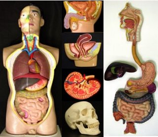 collage of anatomy models
