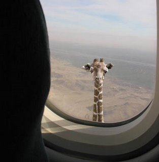 Giraffe from a air plane 
