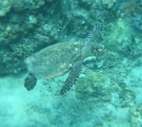 turtle at Gili Trawangan