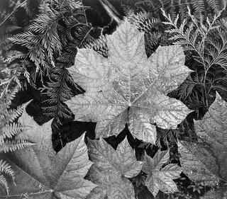 Leaf in Glacier National Park (courtesy of the US National Archives)