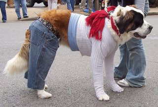 St. Bernard dog in Blue Jeans and shirt