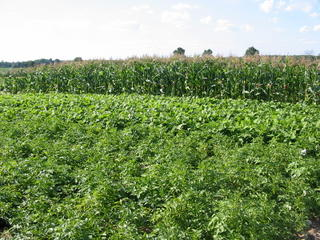 Rotation Experiment @ MRF - potatoes, green beans, corn