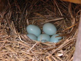 Bluebird nest with 6 eggs, 4/9/2006